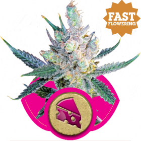 Royal  Cheese  F A S T  Version  Feminised  Cannabis  Seeds  Jpg
