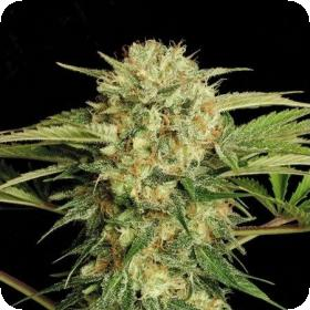 Motavation Feminised Seeds
