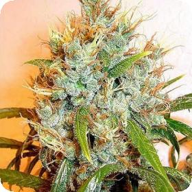 Kali Mist Feminised Seeds