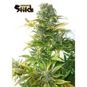 Stardust Autoflowering Regular Seeds