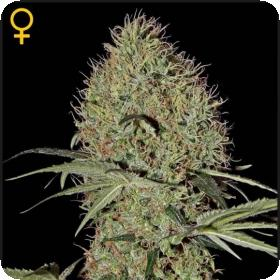 Super Bud AUTO Feminised Seeds