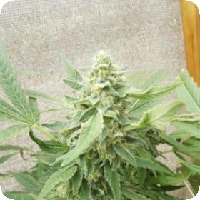 Sweet  O  Feminised  Cannabis  Seeds  28 Limited 20 Edition 29  Cannabis  Seeds  Jpg