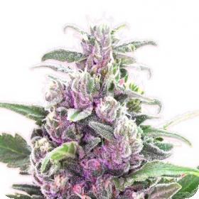 THC Bomb Feminised Seeds
