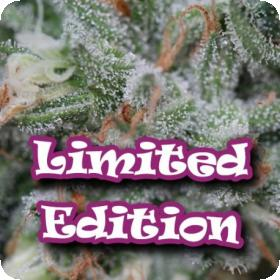 Tangerine Headband Feminised Seeds (Limited Edition) Seeds