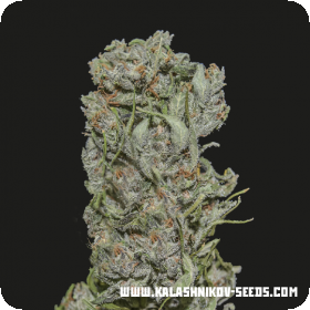 White Critical Express Feminised Seeds