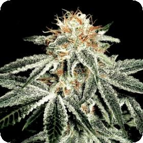 White Widow Feminised Seeds
