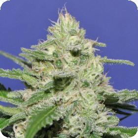 Widow Bomb Feminised Seeds