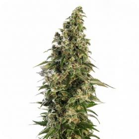 Afghani #1 AUTO Feminised Seeds