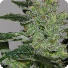 Alaskan Purple Feminised Seeds