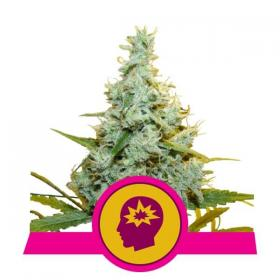 AMG (Amnesia Mac Ganja) Feminised Seeds