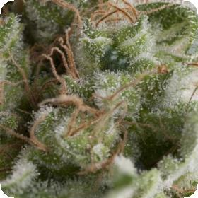 Auto American Pie Feminised Seeds