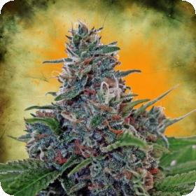 Auto Blue Amnesia Feminised Seeds
