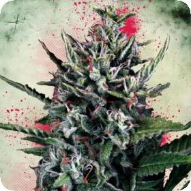 Auto Silver Bullet Feminised Seeds