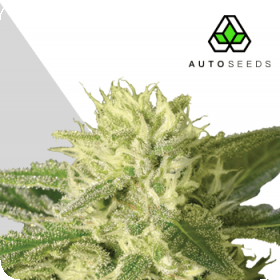 Auto #1 Auto Feminised Seeds