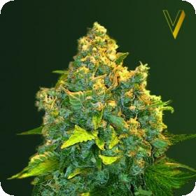 AUTO Chronic Monster XXL Feminised Seeds