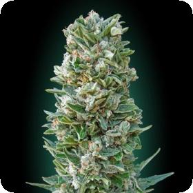 Heavy Bud Feminised Seeds