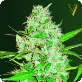 AUTO Red Russian XXL Feminised Seeds