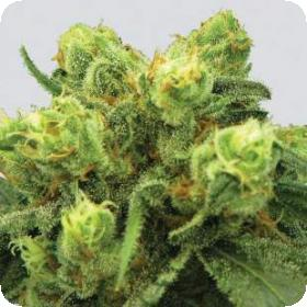 Big  Bud  Feminized  Jpg