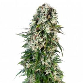 Big Bud AUTO Feminised Seeds