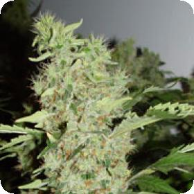 Bubble Gum Feminised Seeds