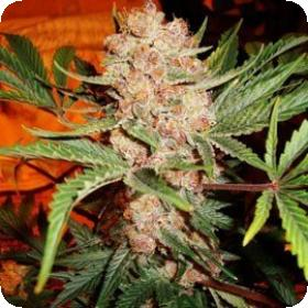 Bubblelicious Feminised Seeds