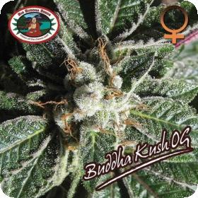 Buddha Kush OG Feminised Seeds
