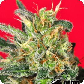 Cluster Bomb Regular Seeds
