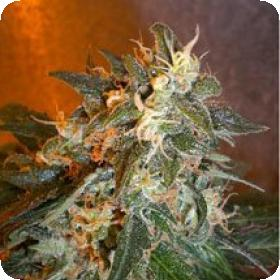 Cobra Feminised Seeds