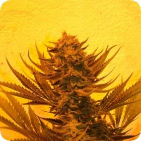 Critical 707 CBD Feminised Seeds