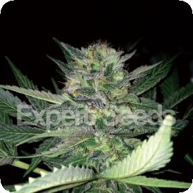 Critical Lights Feminised Seeds