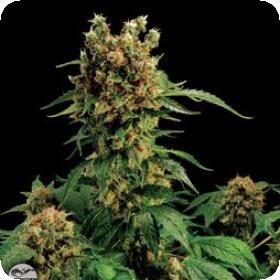 Blue Widow Feminised Seeds