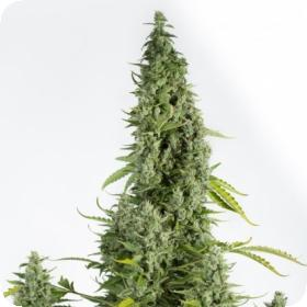 Cheese Automatic Feminised Seeds