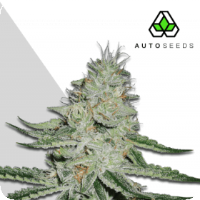 Dreamberry Auto Feminised Seeds
