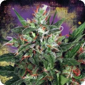 Early XXX Feminised Seeds | Ministry Of Cannabis | Feminised