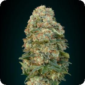 Collection #1 Feminised Seeds