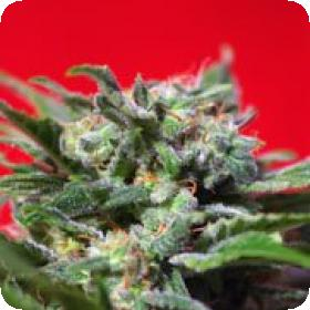 Ganesh Spirit Feminised Seeds