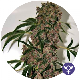 Girl Scout Cookies XTRM Feminised Seeds