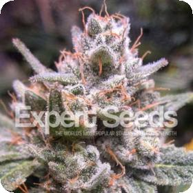 Gorilla Glue #4 AUTO Feminised Seeds