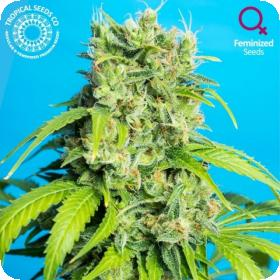 Heaven's Gate CBD Feminised Seeds