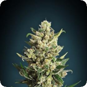 Ice Kush Feminised Seeds