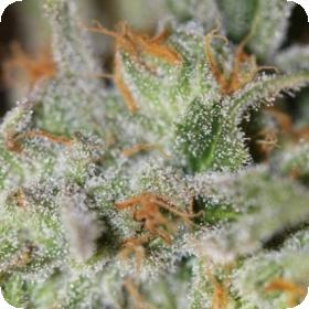 Jack Straw Regular Seeds