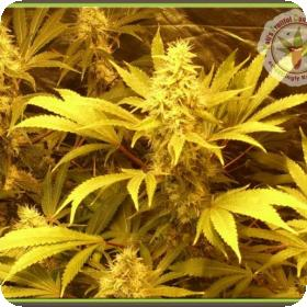 Kali and the Chocolate Factory Feminised Seeds