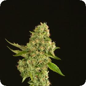 Kuchi Feminised Seeds