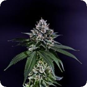 Ken's Kush Regular Seeds