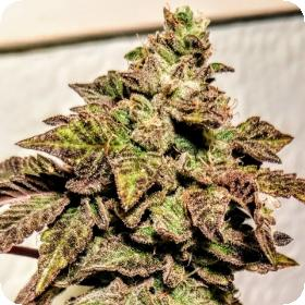 London Cookies Regular Seeds