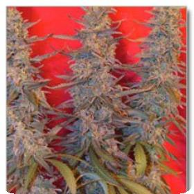 Purple Maroc Feminised Seeds