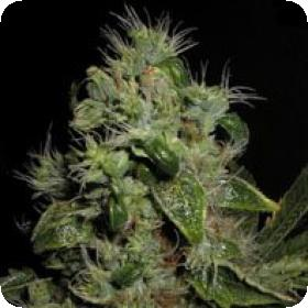 Mazari Feminised Seeds