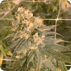 Mint Milano Feminised Seeds (Gold Collection)