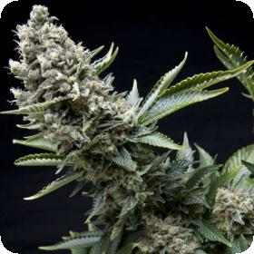 New York City Feminised Seeds