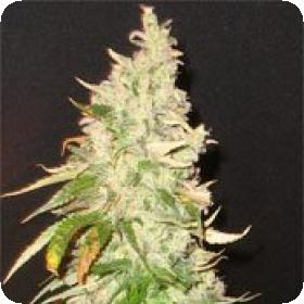 Northern Soul Feminised Seeds